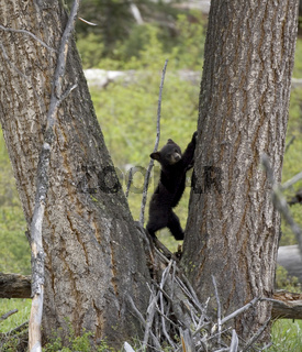 Amerikanischer Schwarzbaer, Baribal, Ursus americanus, Black Bear, Yellowstone NP, USA