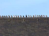 Tauben auf dem Kirchendach