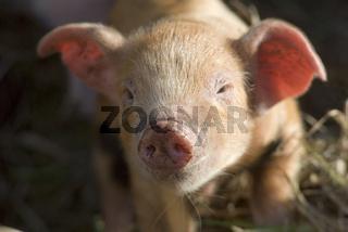 Piglets/Schweinchen