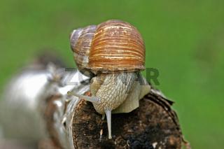 Weinbergschnecke Helix pomatia auf Birkenholz