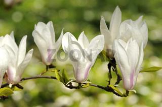 Magnolien-Blüten