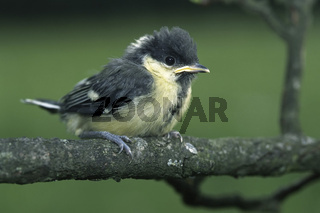 Junge Kohlmeise, Young Great Tit (Parus major)