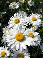 Margeriten, Blumen