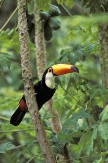 Toco Toucan, Riesentukan, Ramphastos toco, Pantanal, Brazil, Brasilien