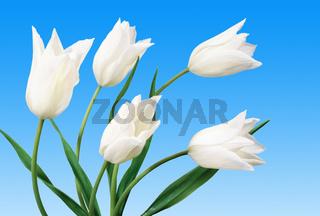 Tulipe / Tulip