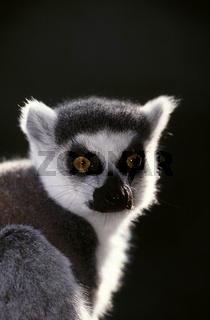 katta, lemur catta, ring-tailed lemur , muttertier, mutter, weibchen, female, mit jungtier, baby, nachwuchs, mother with baby, young animal, , jungtier, young animal, baby , madagaskar, madagascar, afrika, africa