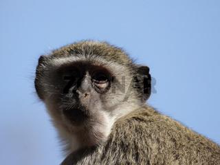 Südliche Grünmeerkatze (Cercopithecus pygerythrus); Vervet Monkey
