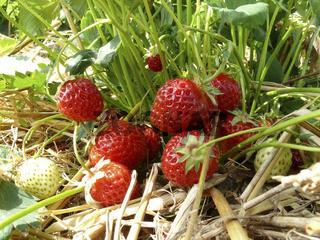 Erdbeeren am Busch