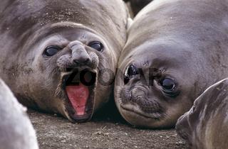 suedlicher See-Elefant, southern elelphant seal, mirounga leonina, Insel Suedgeorgien, Antarktis
