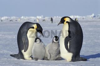 Emperor penguin, Aptenodytes forsteri, Emperor penguins, Dawson-Lambton glacier, Antarctica, Kaiserpinguin, Kaiserpinguine, Antarktis, antarctica
