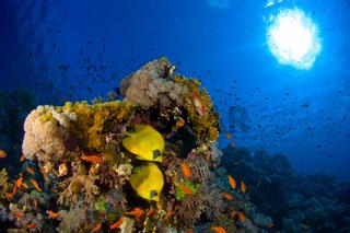 Falterfischpaar