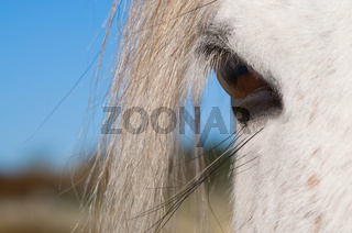 Auge eines Connemara Ponys - Eye of an Connemara Pony