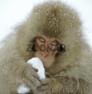 Snow monkey,  Macaca fuscata, Schneeaffe