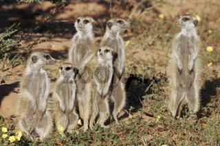 suricate, Erdmaennchen, South Africa, Suedafrika, suedafrikanische tierwelt