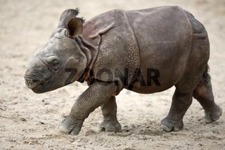 Panzernashorn, Rhinocerus unicornis, Great Indian Rhinoceros, Great One-horned Rhinoceros