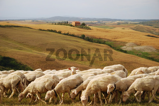 Schafe in der Toskana, Sheep in Tuscany