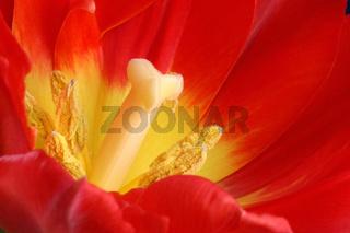 Tulpe, Rote Tulpe, Herausragend
