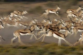 Antidorcas marsupialis, Springbok, Springbock, Suedafrika, South Africa