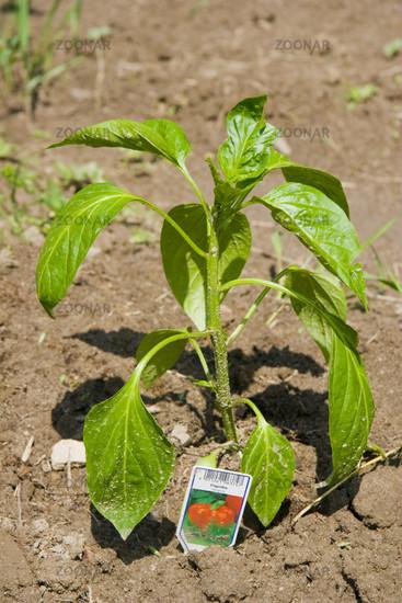 paprika pflanzen kaufen