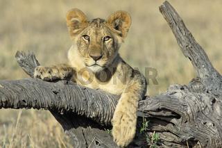 Junger Loewe, jungtier, Masai Mara, Kenia, kenya, lion, cub, Panthera leo, Masai Mara Wildlife Reservation