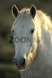 Camargue-Pferd (Portrait) Camargue horse (Portrait)
