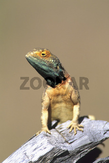 Agama Lizard, male, maennchen, Agama sp., Kalahari-Gemsbok NP, Sued-Afrika siedleragame, agama agama, red-headed rock agama, echse, lizard