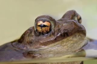 Erdkröte bufo bufo