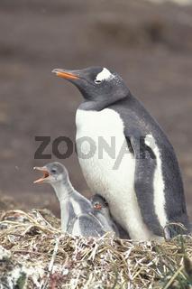 eselspinguin, pygoscelis papua, gentoo penguin, johnny penguin