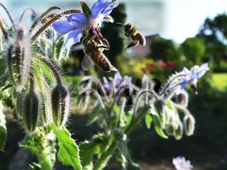 Bienen an blauer Blüte