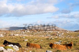 Kühe in den Burren in Irland -