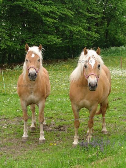 Zwei Harflinger Pferde