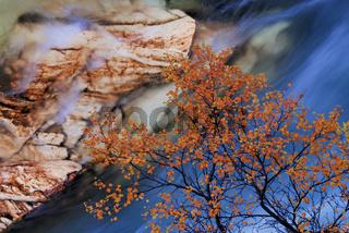 birch, birke,  autumn, herbst, abisko-canyon, abisko national park, norrbotten, lapland, lappland, sweden, schweden, europe, europa