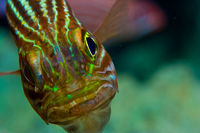 Portrait eines Tiger Kardinalfisch