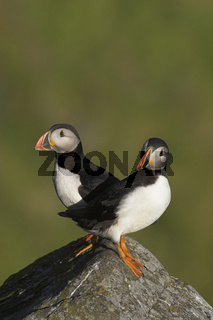 Papageitaucher, Atlantic Puffin, Fratercula arctica