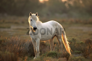 Camargue-Pferd bei Gegenlicht Camargue horse against the light