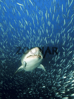 Sandtigerhai im Fischschwarm, Gray nurse shark, sand tiger shark, in school of fish, Carcharias taurus