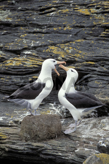 Black-browed albatross, Mollymauk,
