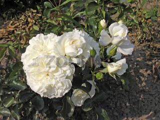 Rosa 'White Meidiland', Strauchrose, Meilland 1985