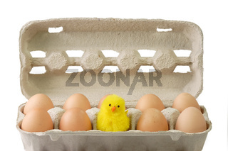 Eier mit Kueken - Chick between brown eggs