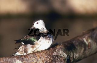koromandelzwergente, nettapus coromandelianus, cotton pygmy-goose, koromandel-zwergente