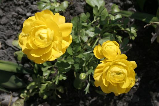 Yellow Begonia tuberosa   Gelbe Knollenbegonie