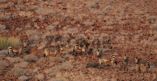 Bergzebras (Equus zebra hartmannae); Mountain Zebras