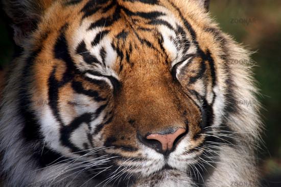Tiger geniesst Sonne