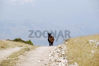 Muli in den Cika-Bergen