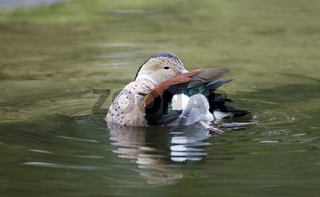rotschulterente, callonetta leucophrys, ringed teal,  Red-shouldered teal, Ring-necked teal
