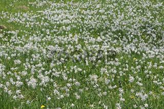 Bergwiese mit Dichter-Narzissen, Narcissus poeticu