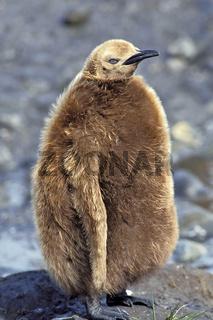 King penguin, Koenigspinguin, Aptenodytes patagonicus, Salisbury plain, South Georgia, chick, kueken, pinguinkueken, koenigspinguinkueken