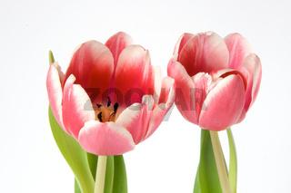 Frühlingsgruss - tulips