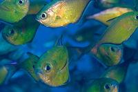 Glasfische
