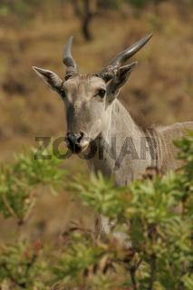 Eland-Antilope, Drakensberg, Suedafrika, South Africa